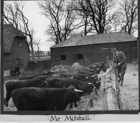 Mr Mitchell tending his cattle. c1943