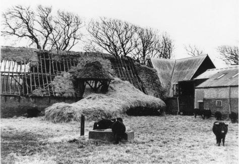 Cattle and a nearly roofless barn at Reach Court Farm