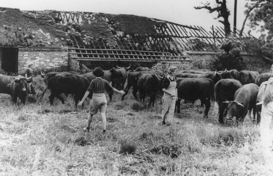Land Army girls and cattle. c1942