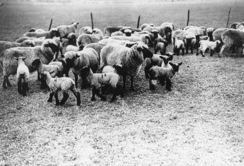 Sheep and Lambs at Reach Farm