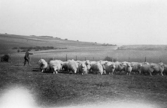 Sheep and lambs at Bockhill Farm. 1920/1930