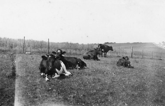 Cattle at Bockhill Farm.