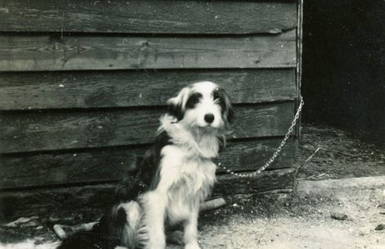 Bockhill Farm dog Bob. 1920-1930