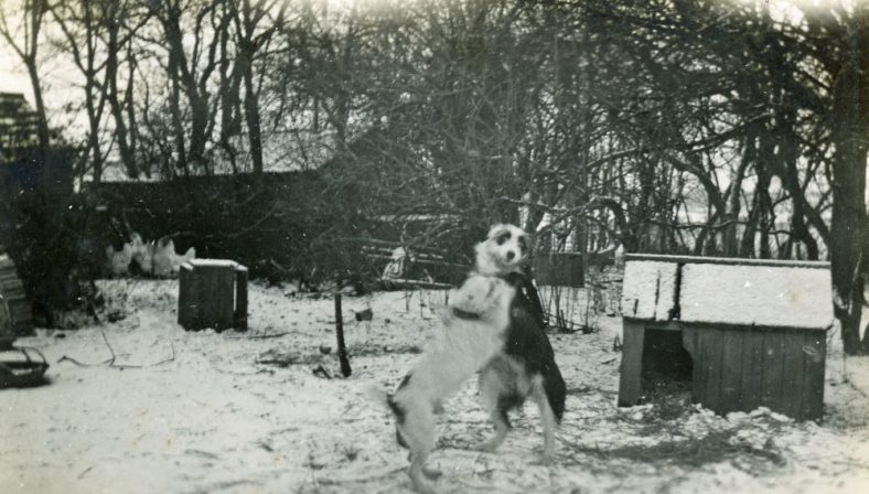 Bockhill Farm dogs Nip and Bob playing in the snow. c1920-1930