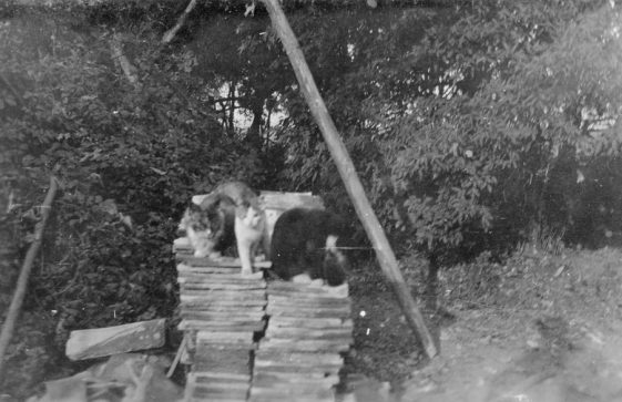Bockhill Farm cats. 1920-1930