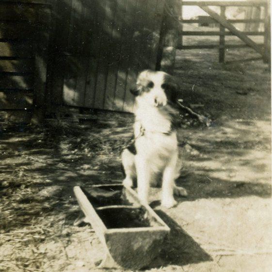 Bockhill Farm dog Bob. 1920-1930